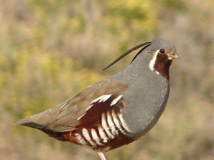 India himalayan quail pics