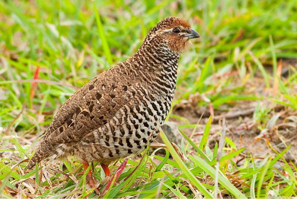 India rock bush quail photos