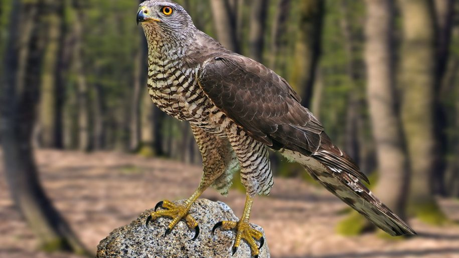 Indian northern goshawk birds gallery