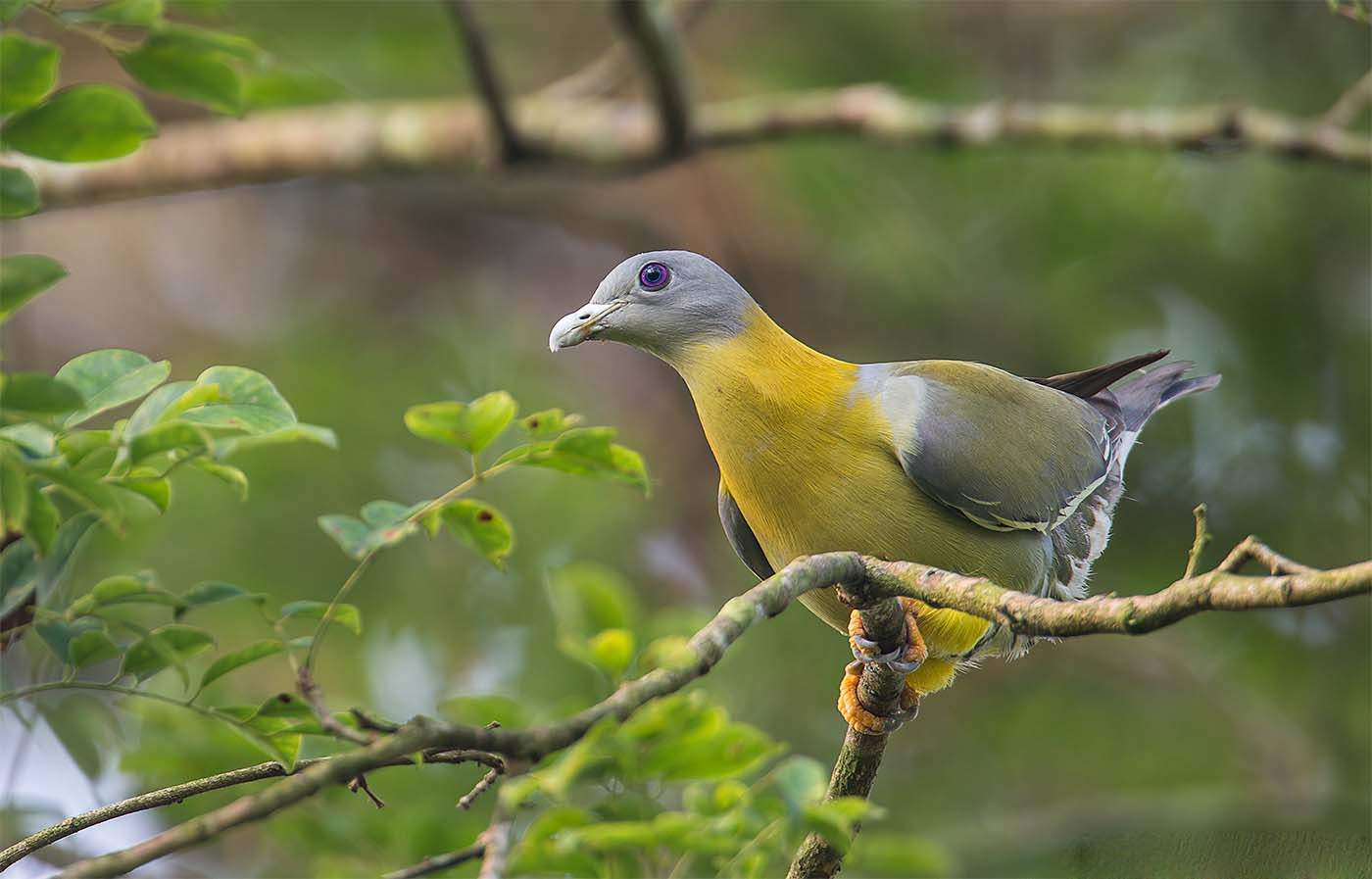 Indian yellow footed green pigeon birds pics