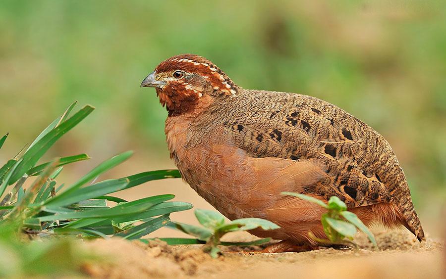 Jungle bush quail cute pictures