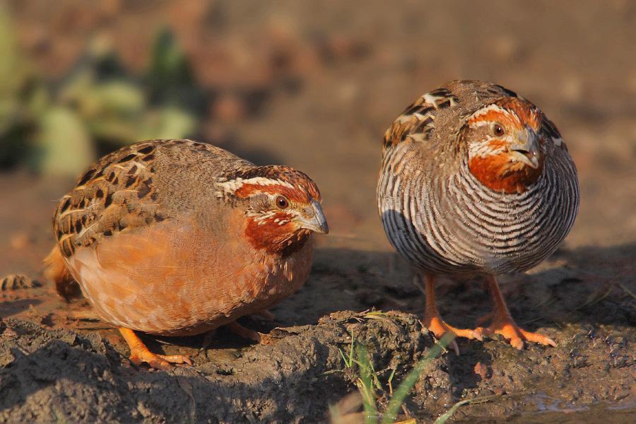 Jungle bush quail family photos