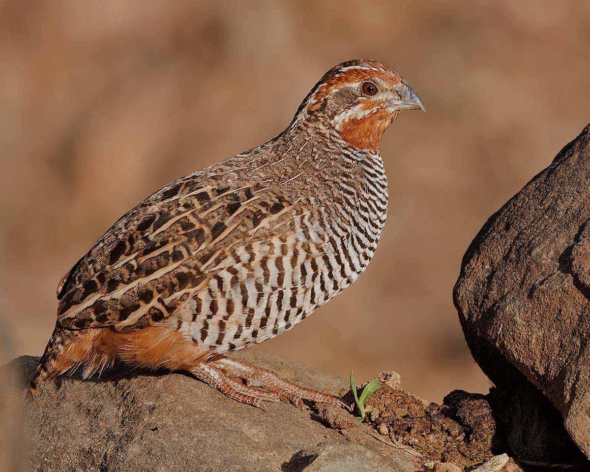 Jungle bush quail indian birds gallery