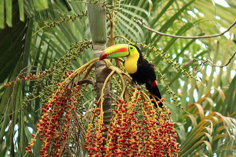 Keel billed toucan bird photos