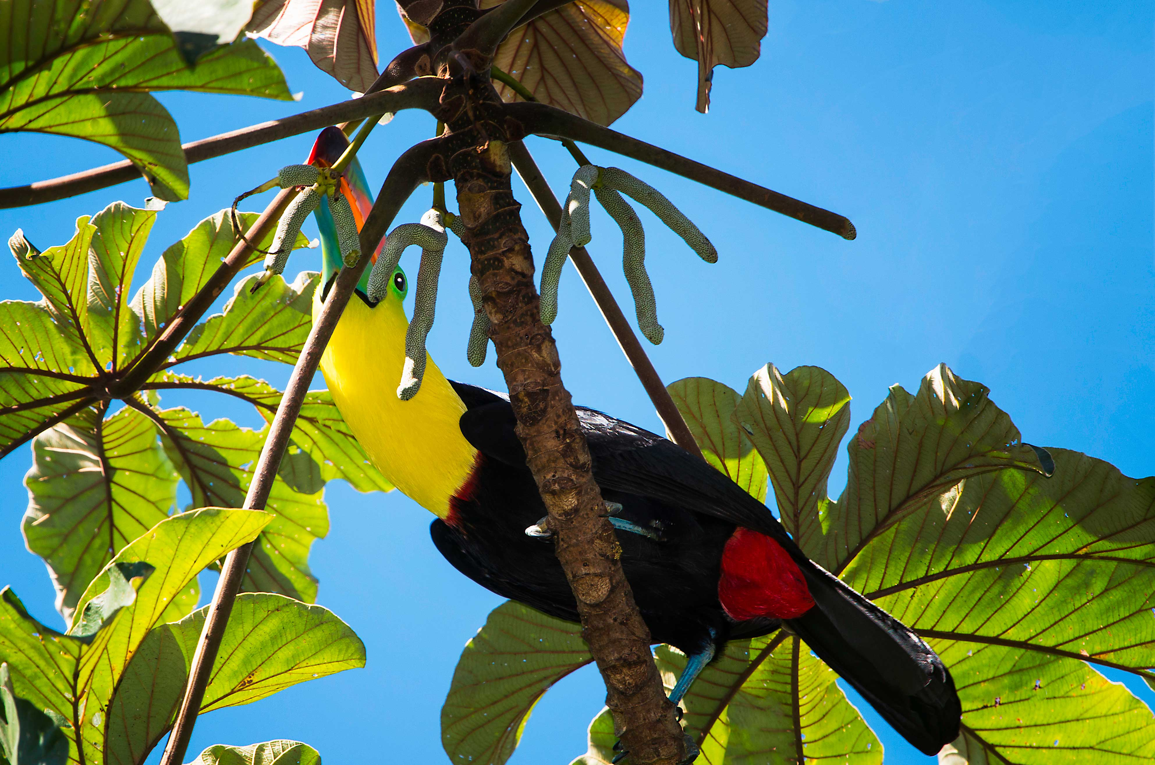 Keel billed toucan bird wallpaper
