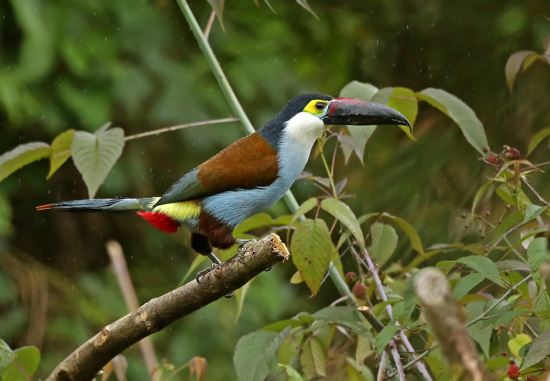 Keel billed toucan photos