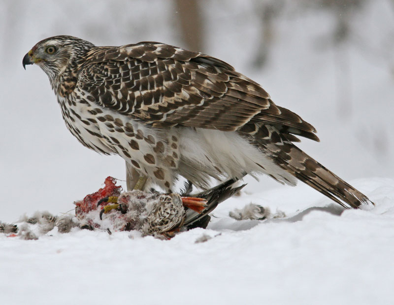 Northern goshawk attacking photos