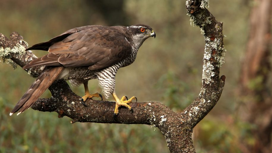 Northern goshawk cute wallpapers