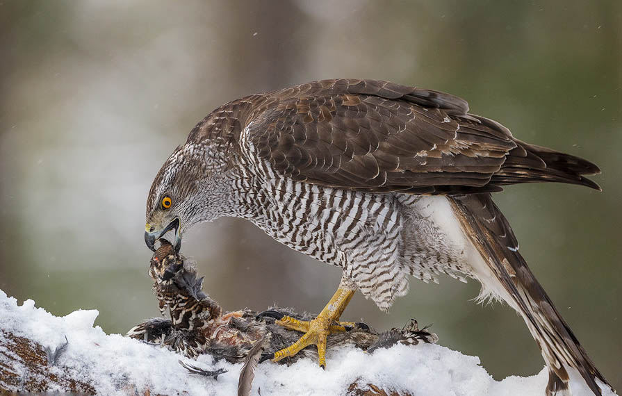 Northern goshawk eating photos