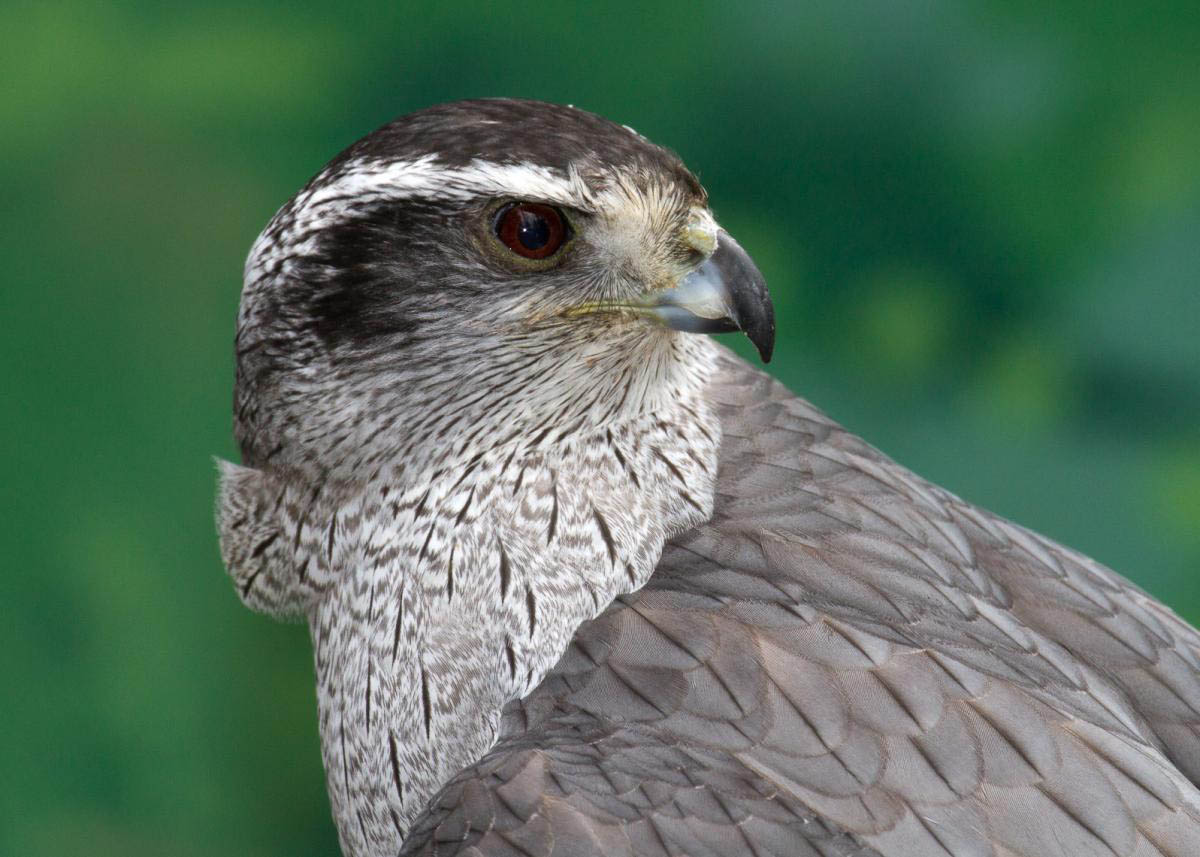 Northern goshawk face pictures