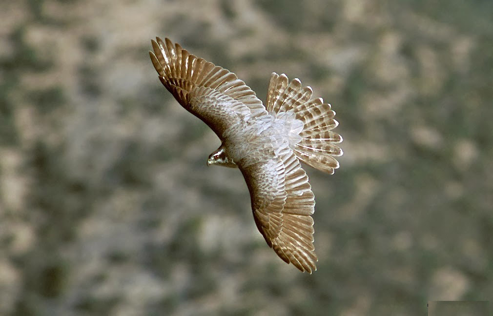 Northern goshawk flying pictures