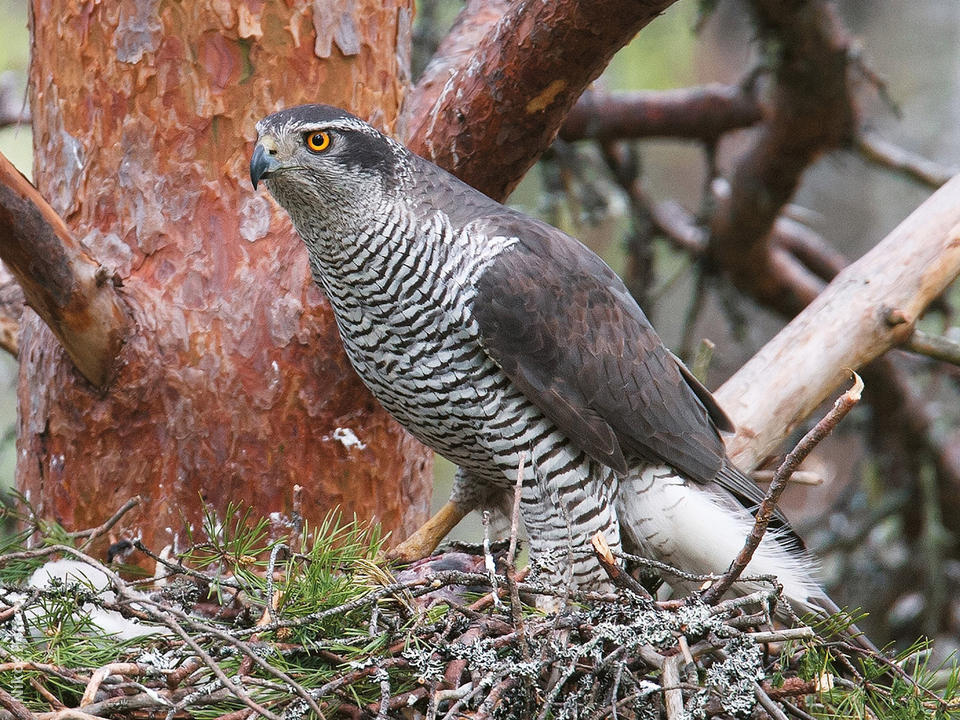 Northern goshawk pictures