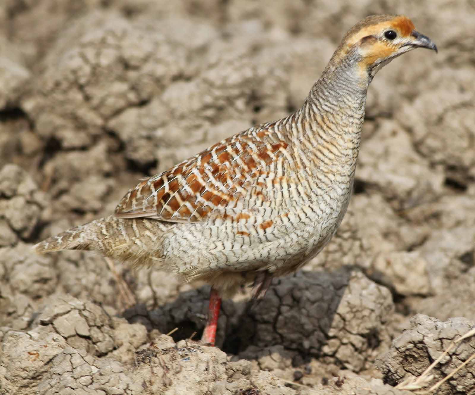 Painted francolin female photos