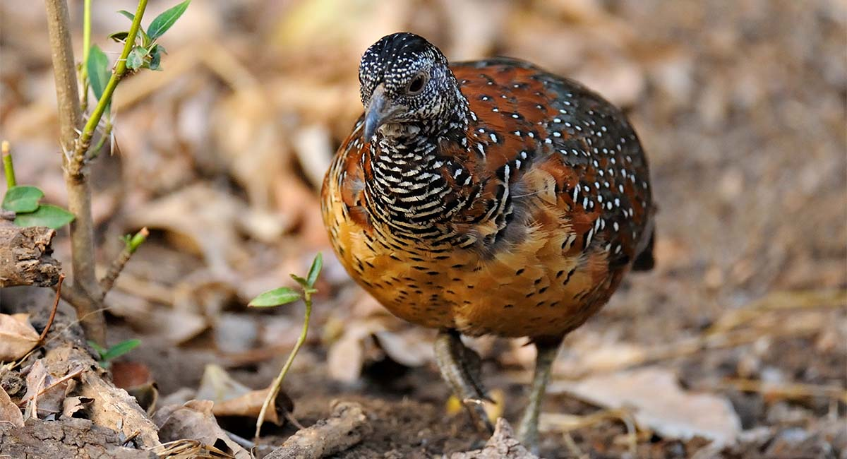 Painted spurfowl birds wallpapers