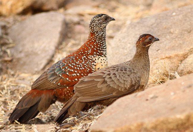 Painted spurfowl family photos