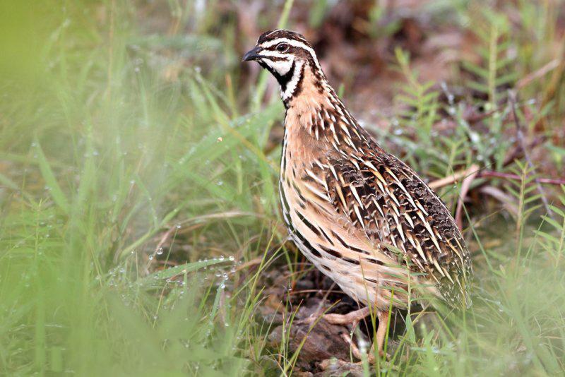 Rain quail birds photos