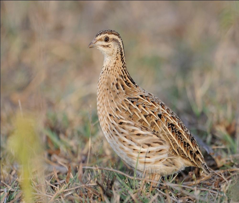 Rain quail cute photos