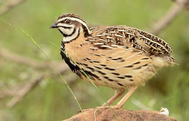 Rain quail indian birds gallery