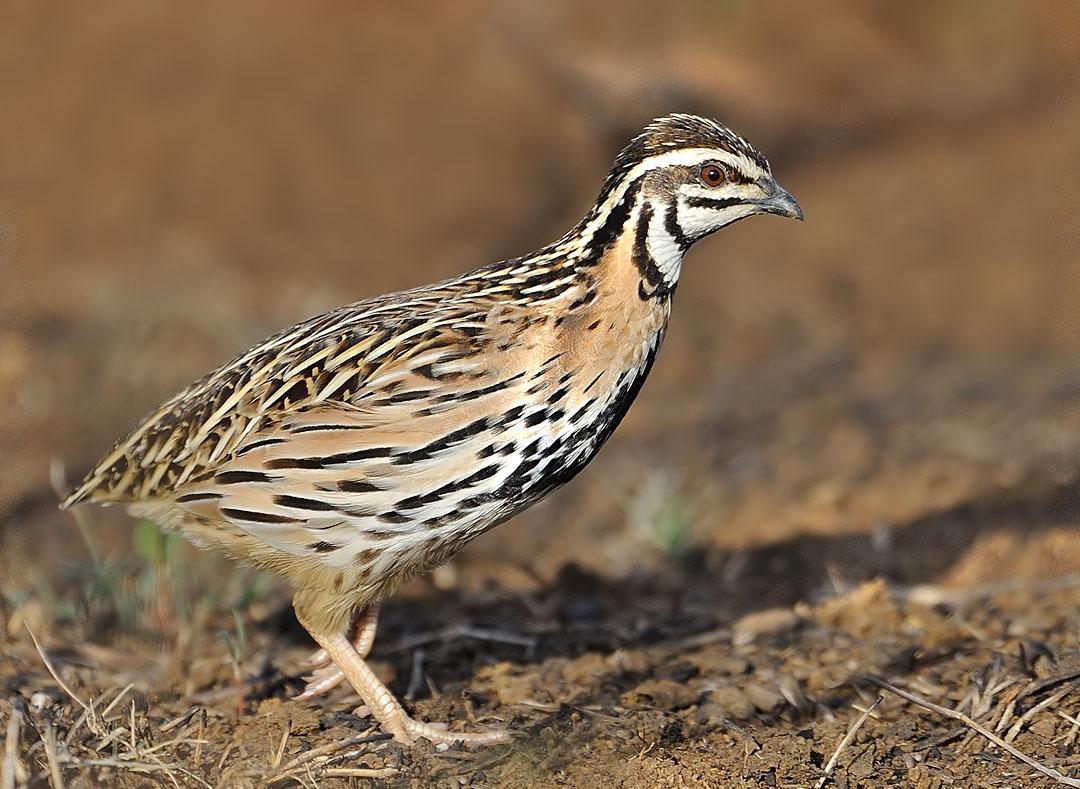 Rain quail pictures