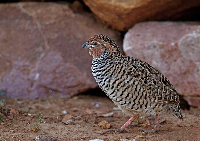 Rock bush quail indian birds gallery