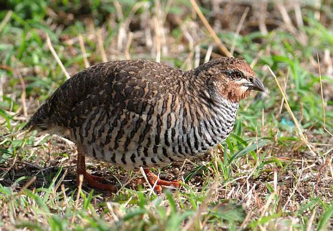 Rock bush quail pictures
