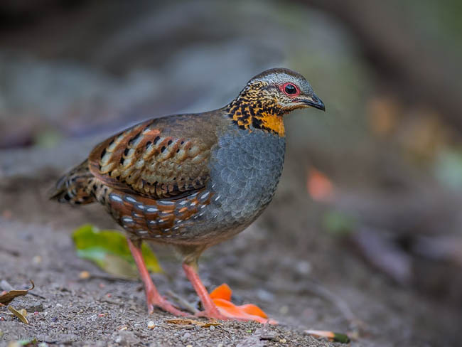 Rufous throated partridge cute pictures