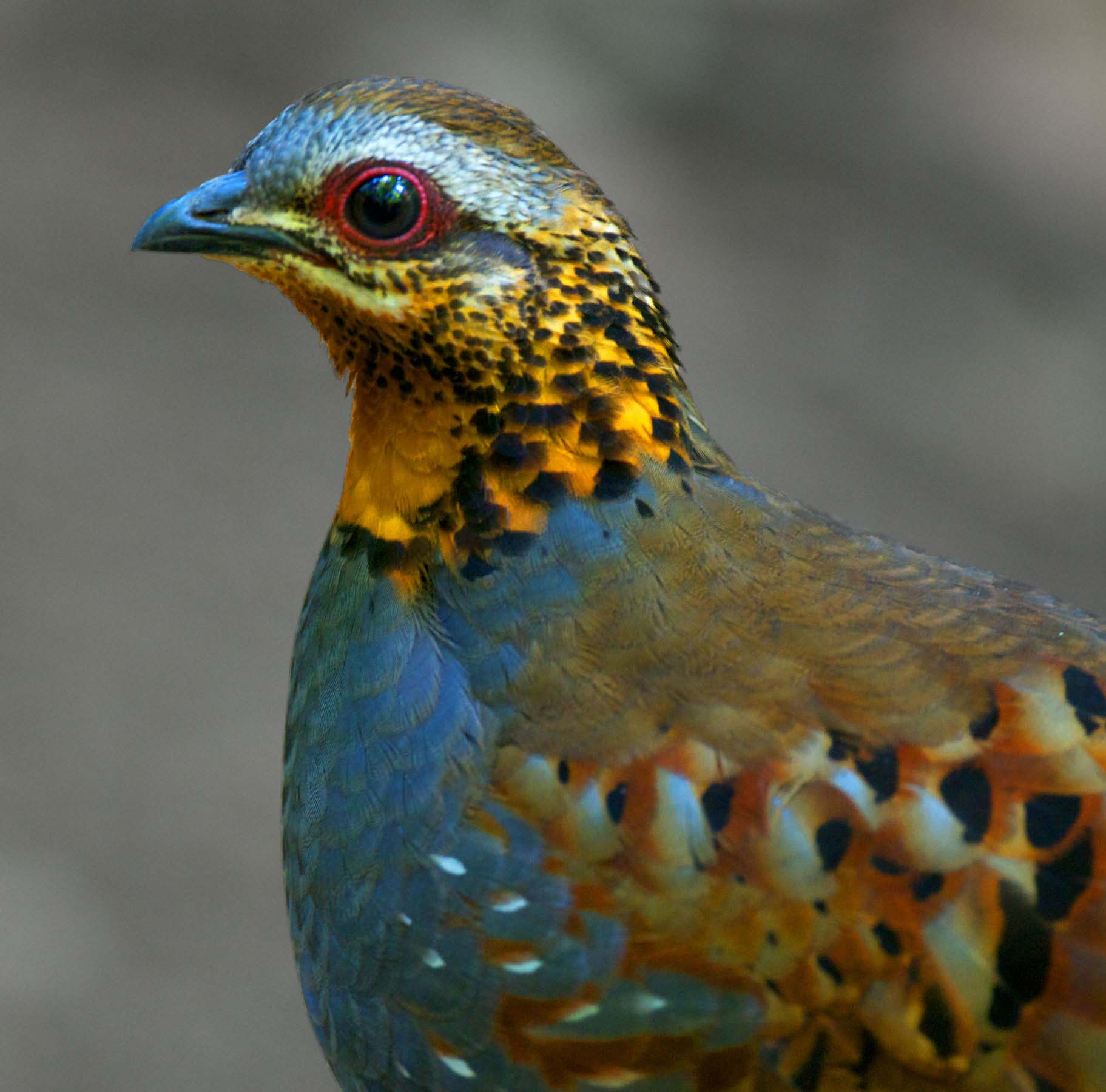 Rufous throated partridge face pictures