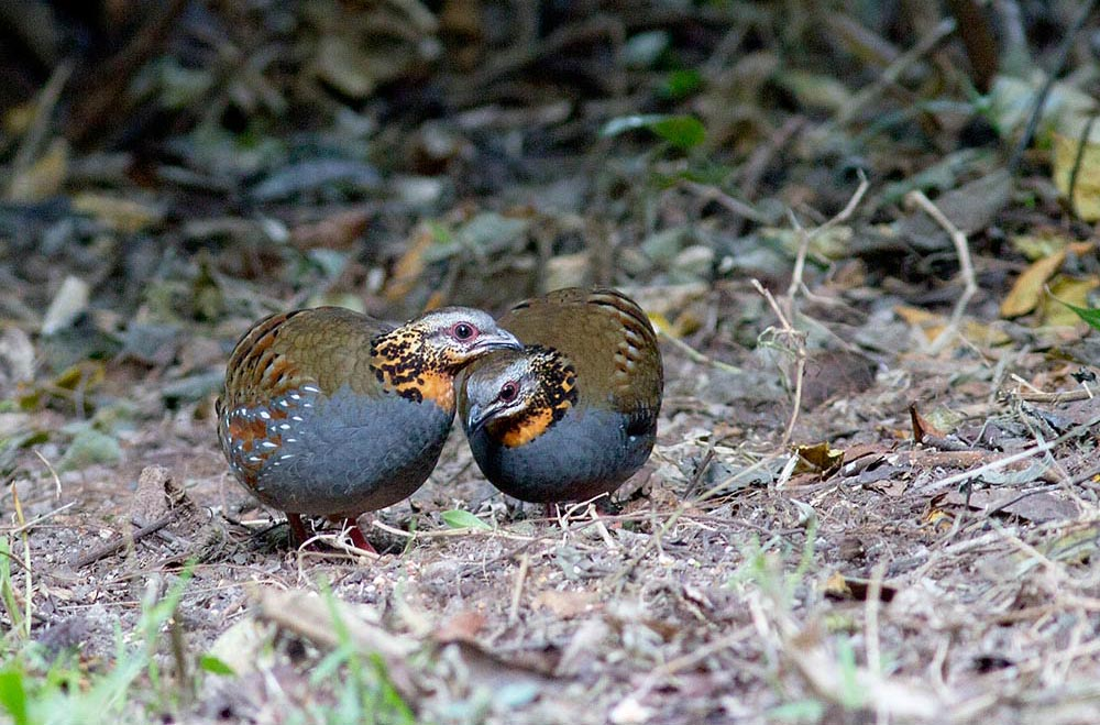 Rufous throated partridge male and female pics