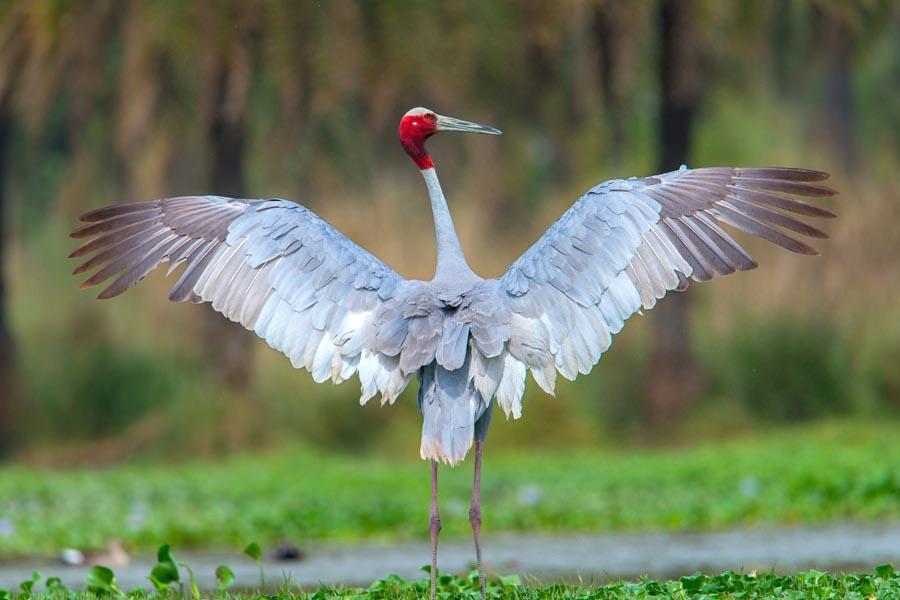 Sarus crane cute pictures