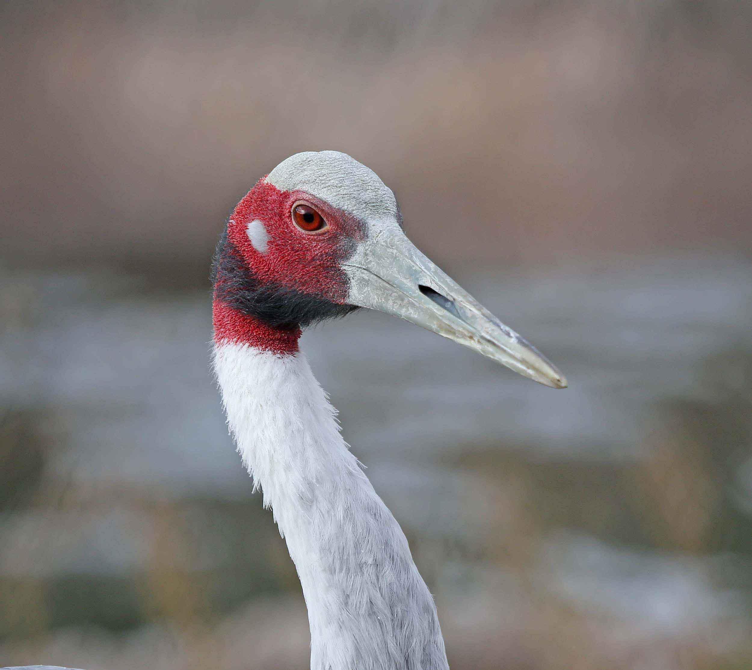 Sarus crane face photos