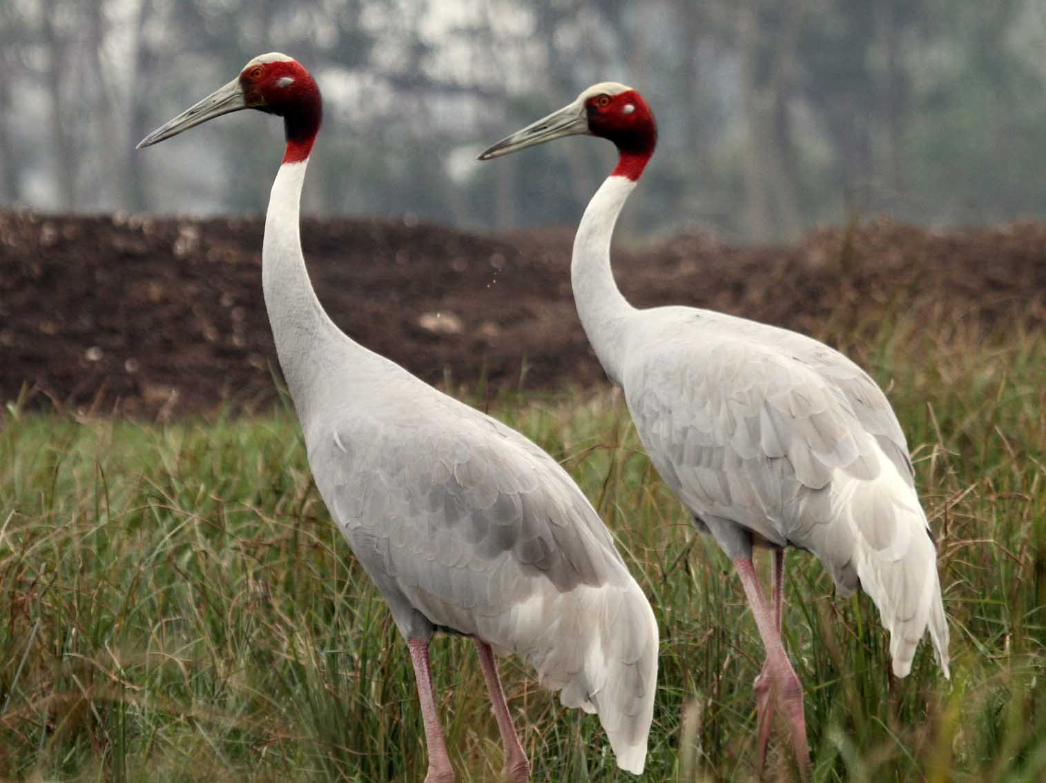 Sarus crane family photos