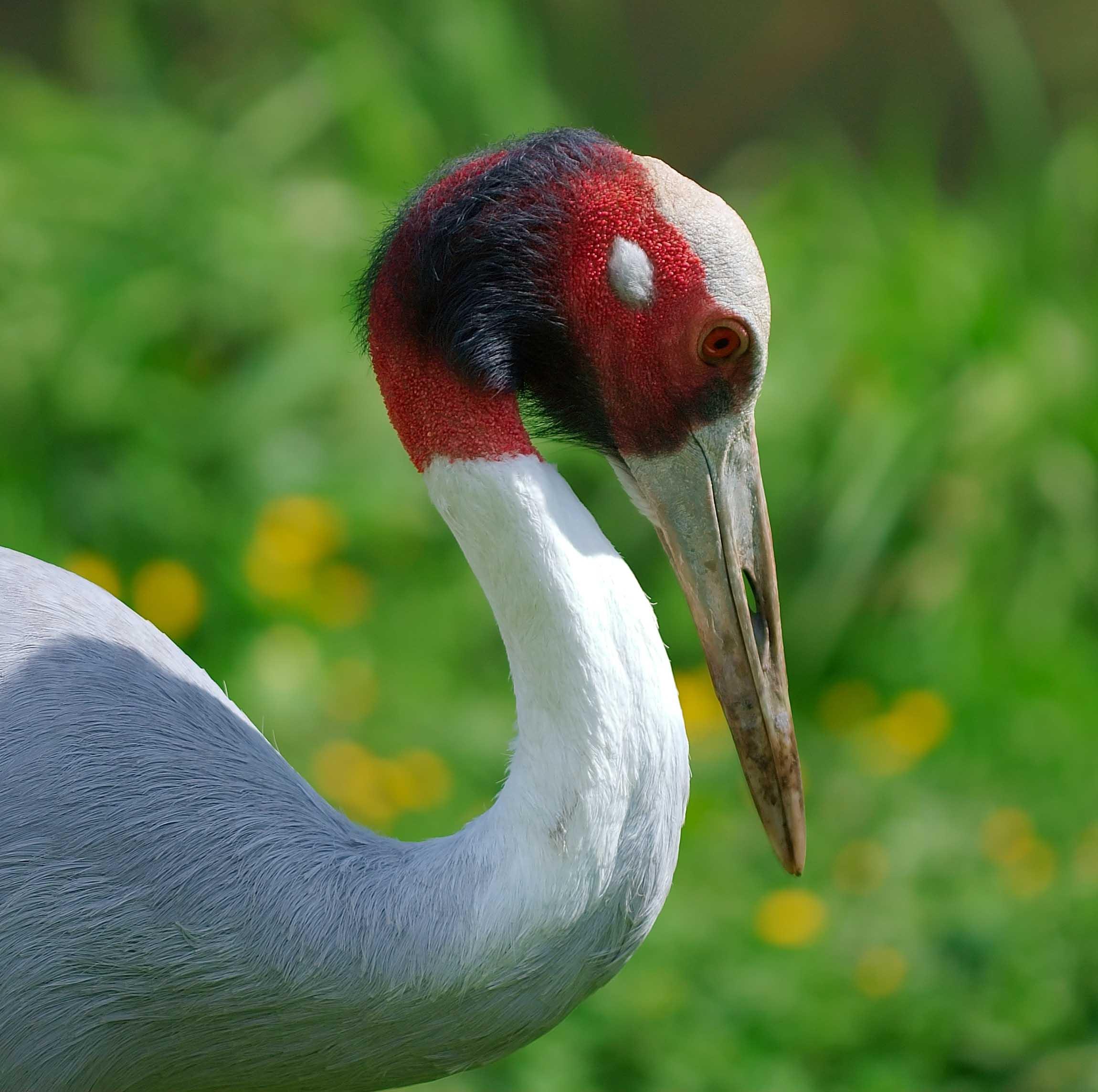 Sarus crane indian birds gallery