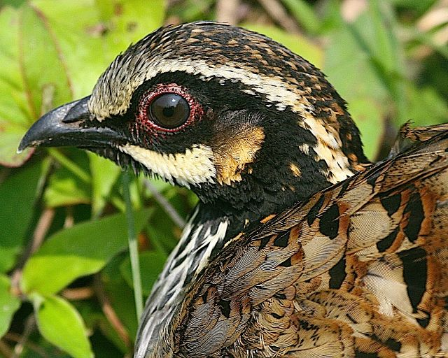 White cheeked partridge face pictures