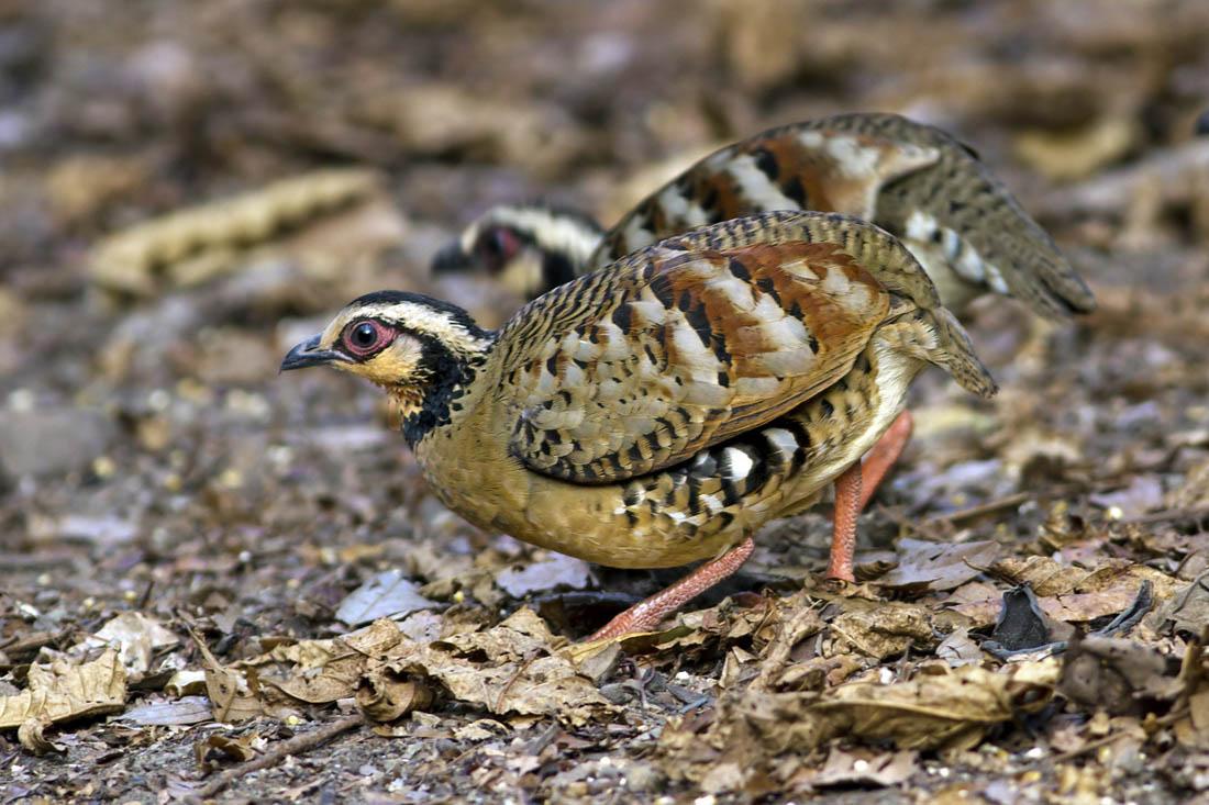 White cheeked partridge indian birds gallery