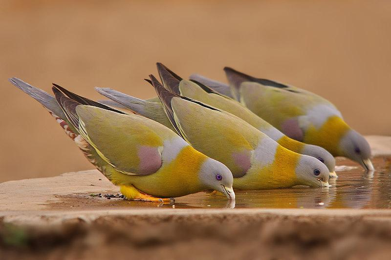 Yellow footed green pigeon drinking water photos