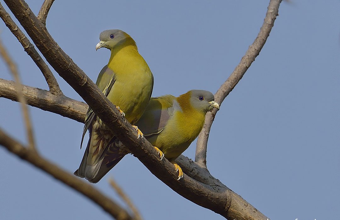 Yellow footed green pigeon family photos