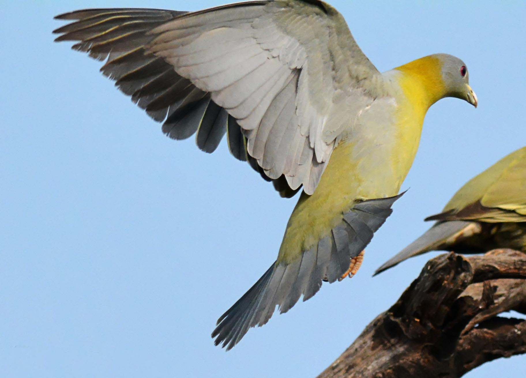 Yellow footed green pigeon flying pictures