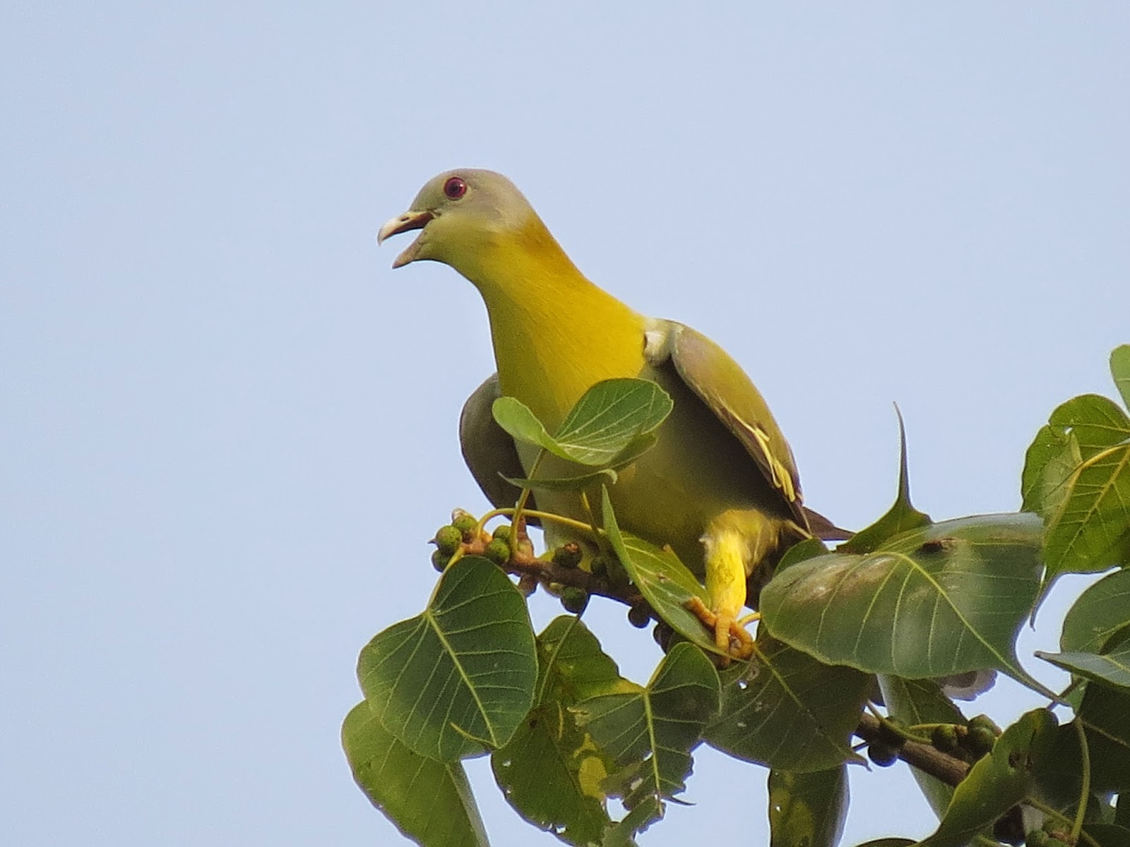 Yellow footed green pigeon indian birds gallery