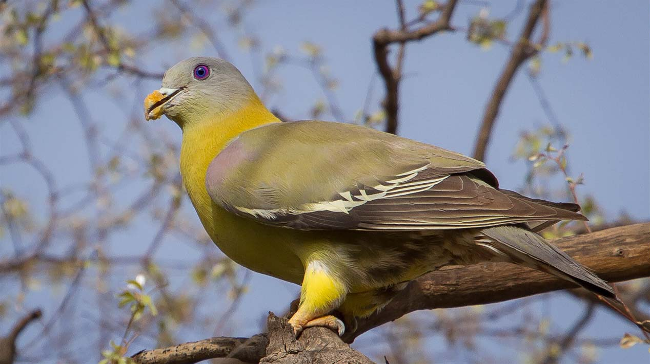 Yellow footed green pigeon pictures