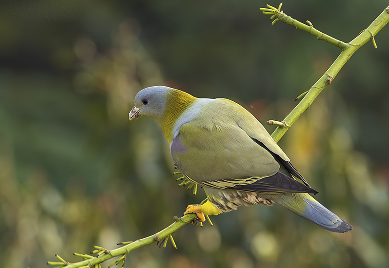 Yellow footed green pigeon wallpapers