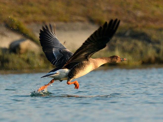 Bean goose duck flying photos