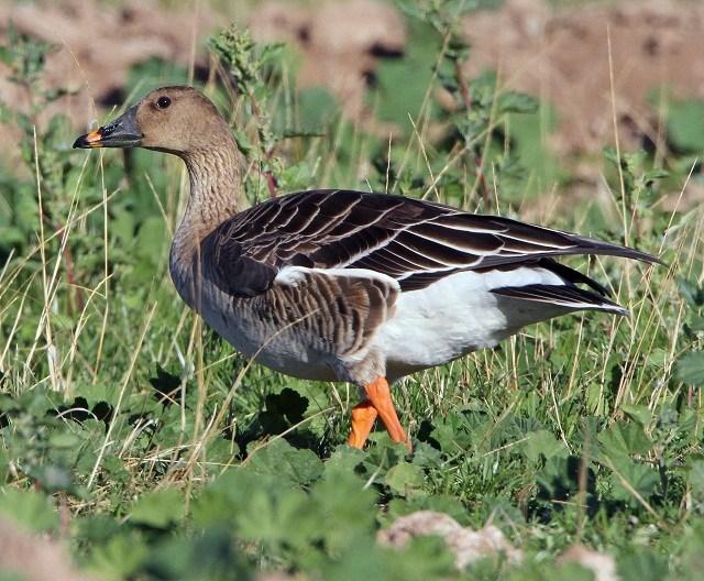 Bean goose indian duck gallery