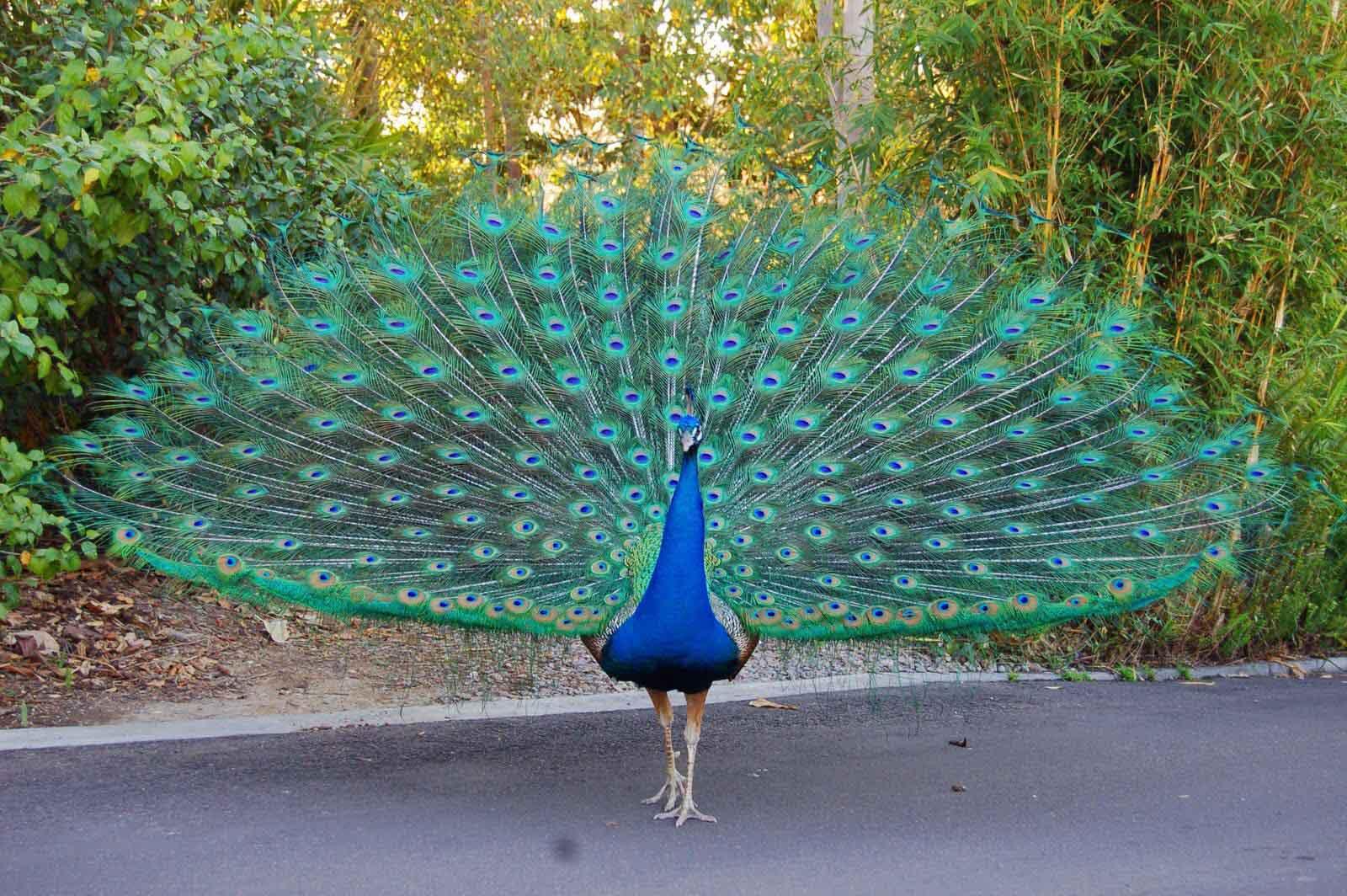 Beautiful indian peafowl photos