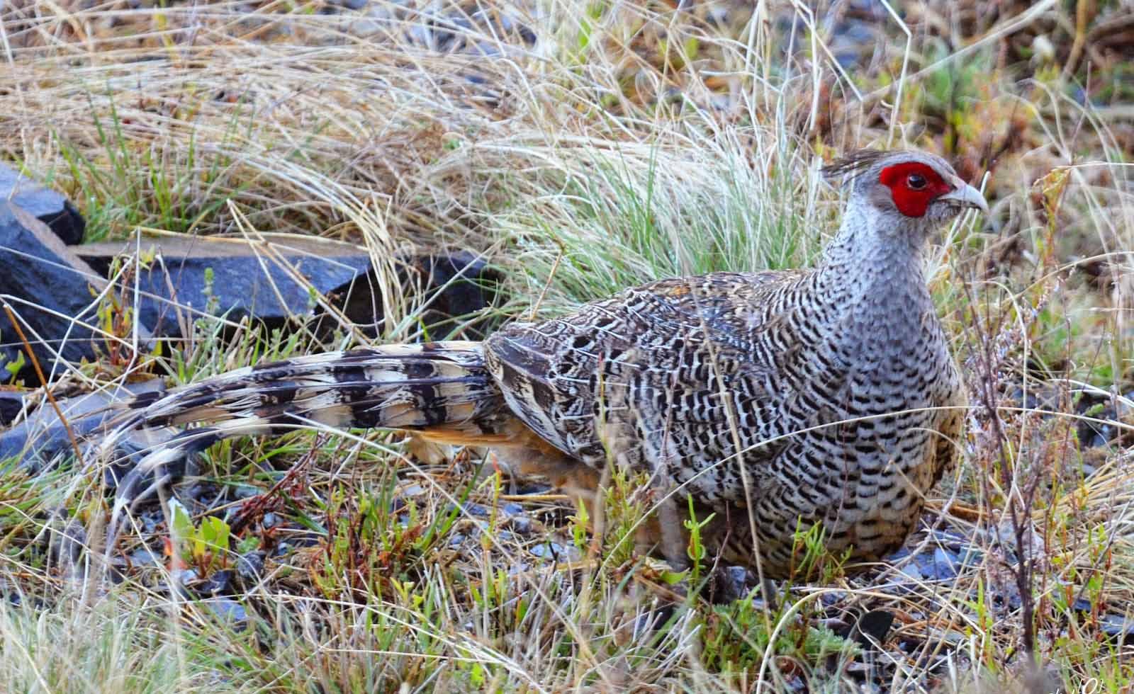 Cheer pheasant birds photos
