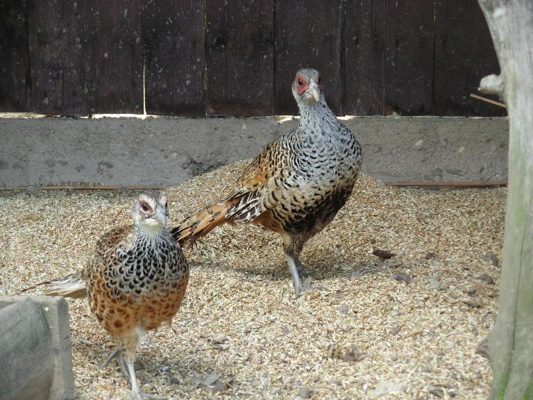 Cheer pheasant pair photos
