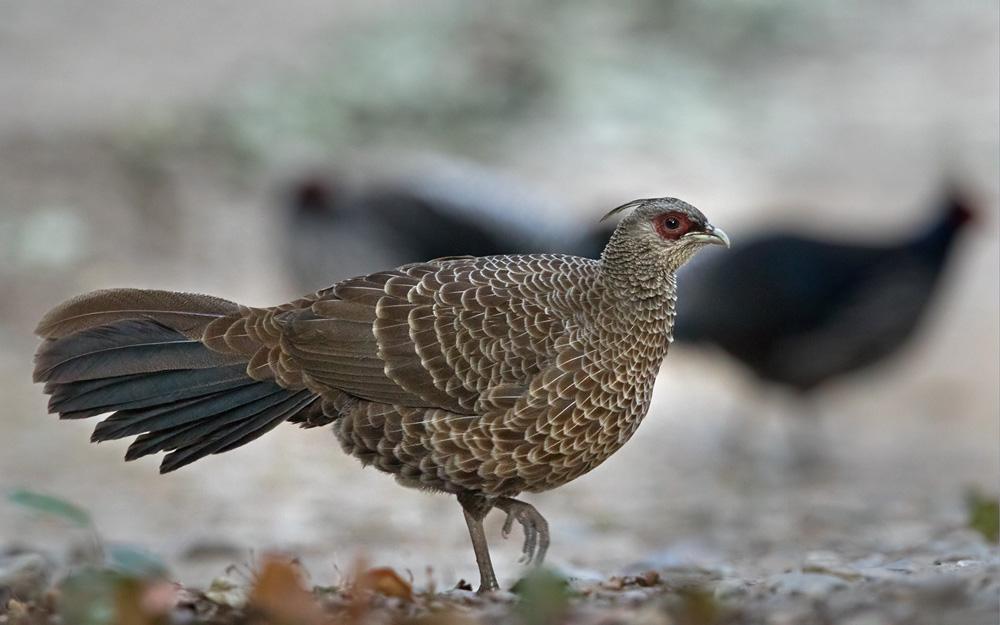 Female kalij pheasant pictures