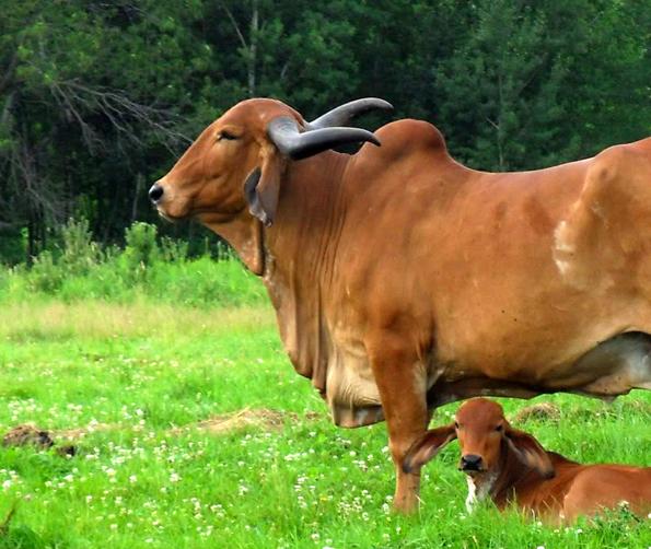 Gir cow calf photos