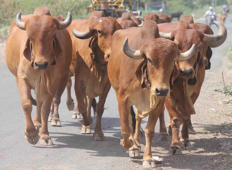 Gir cow group photos