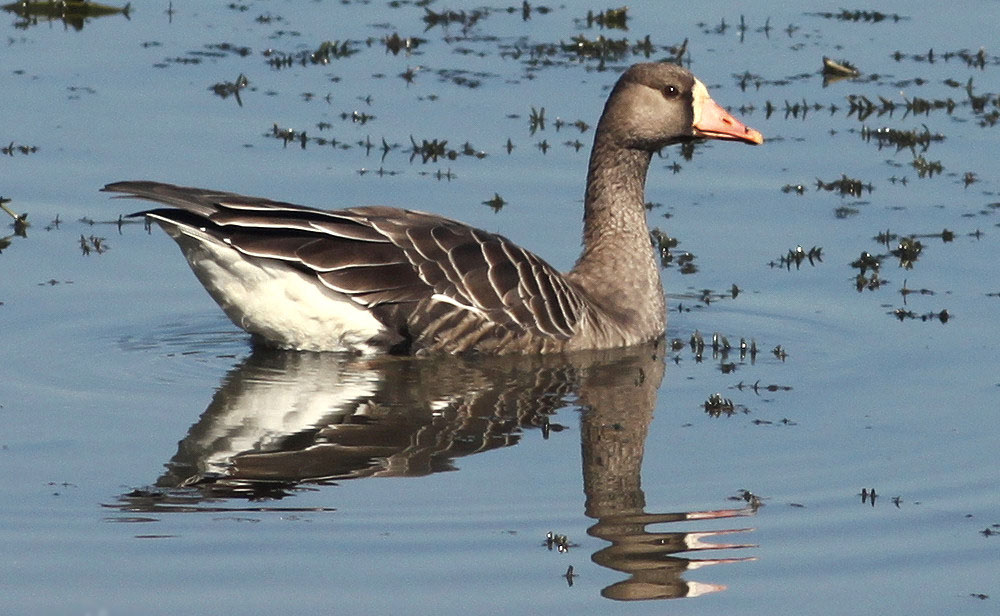 Greater white fronted goose duck photos