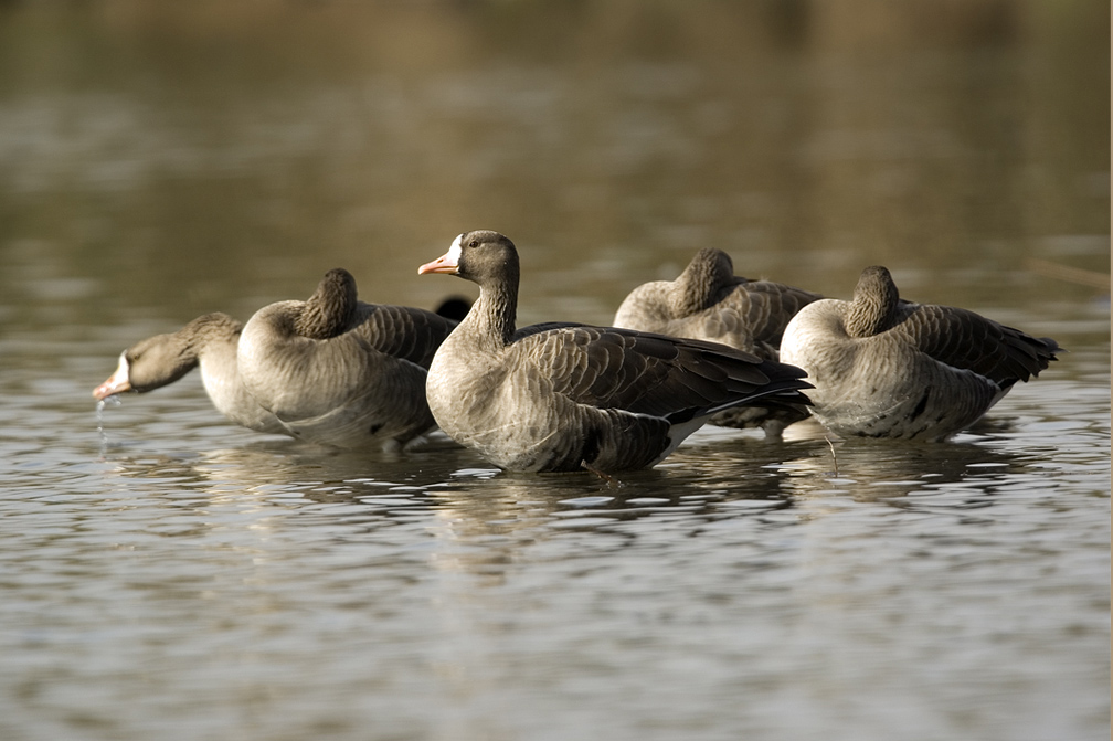 Greater white fronted goose duck wallpapers